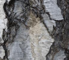 Birch-Bark-in-Coburg