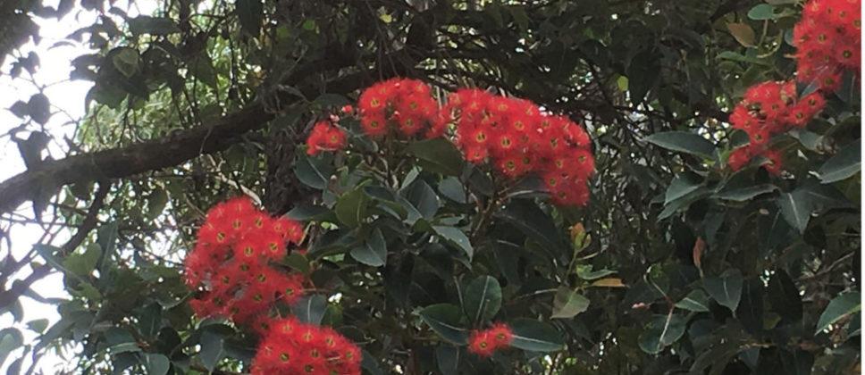 Corymbia