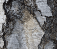 Birch-Bark-in-Coburg